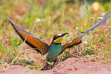 Bee-eater (Merops apiaster), nesting on flat ground, rather than the usual sandy bank, Hungary