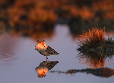 Ruff (Philomachus pugnax), male at first light, Finland, May.
