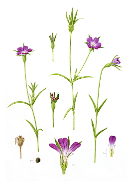 Corncockle (Agrostemma githago), a rare British arable wild flower. Watercolour illustration.