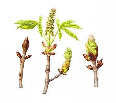 Horse-chestnut tree (Aesculus hippocastanum), sticky buds, in three stages of growth.Watercolour illustration.