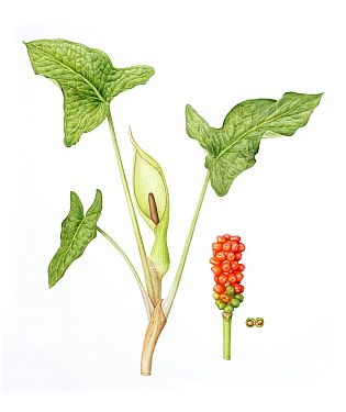 Lords-and-ladies (Arum maculatum), stem with flowers on inflorescence (spadix), and stem with berries. Watercolour illustration.