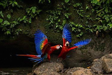 Scarlet macaws (Ara macao) at a claylick. ??Yasuni National Park, Orellana, Ecuador.??