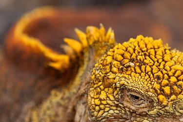 Galapagos land iguana (Conolophus subcristatus)?? close up of eye and skin, South Plaza Island, Galapagos
