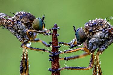 Striped slender robberflies (Leptogaster cylindrica). Ledston, Yorkshire, England, UK, June. Focus stacked image.