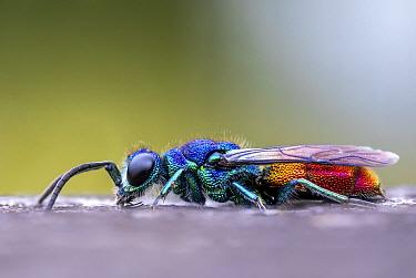Ruby tailed wasp (Chrysis ignita). Skipwith Common, Yorkshire, England, UK, June. Focus stacked image.
