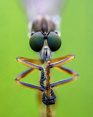 Striped slender robberfly (Leptogaster cylindrica) clos up of head, Ledston, Yorkshire, England, UK, July. Focus stacked image.