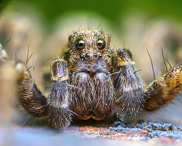 Wolf spider (Pardosa amentata) close up,  Leeds, Yorkshire, England, UK, April. Focus stacked image.