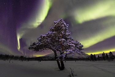 Aurora over lone pine tree in Abisko National Park, Abisko, North Sweden. February 2020.