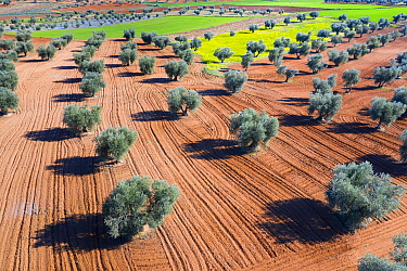 Aerial view of olive trees and cereal fields, Toledo, Castilla-La Mancha, Spain. February 2020.