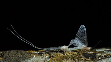 Mayfly (Ephorom virgo) emerged at the end of the summer Tudela, Navarra, Spain, September.