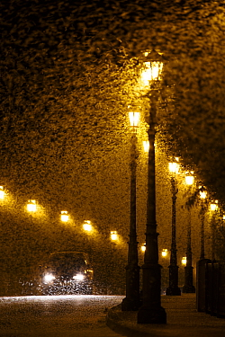 Vast swarm of Mayfly (Ephorom virgo) emerged at the end of the summer Tudela, Navarra, Spain, August.