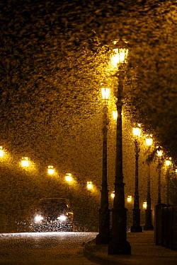 Vast swarm of Mayfly (Ephorom virgo) emerged at the end of the summer Tudela, Navarra, Spain, August.
