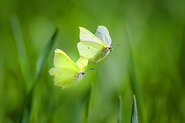 Brimstone butterfly(Gonepteryx rhamni) male and female during mating flight, early spring. Tartumaa county, Southern Estonia. May.