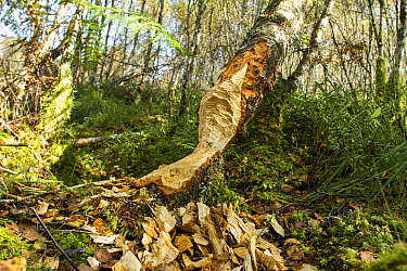 Signs of the presence of European beavers (Castor fiber) including chewed tree trunks in a boggy birch woodland. Site of successful re-introduction, Knapdale Forest, Argyll, Scotland, UK, September.