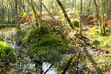 Signs of European Beaver (Castor fiber) activity, chewed trunks of birch trees in boggy woodland. Home of a successful Beaver re-introduction project at Knapdale Forest, Argyll, Scotland, UK, Septembe...
