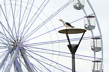 Adult Lesser black-backed gull (Larus fuscus) perched on lamp post and calling with ferris wheel in background. Bristol city's harbourside area, UK, July 2020