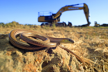 Striped legless lizard (Delma impar) in a St Albans housing development site undergoing total clearance of habitat, Melbourne, Australia. Crticially endangered species.
