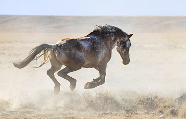 Wild varnish roan stallion, leaps as he escapes after he was released, during the Red Desert Complex Roundup, Wyoming, USA. October.