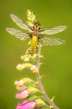 Broad-bodied chaser dragonfly (Libellula depressa) resting on Foxglove (Digitalis purpurea). Cornwall, England, UK. April.