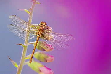 Common darter dragonfly (Sympetrum striolatum) resting on Foxglove (Digitalis purpurea). Cornwall, England, UK. July.