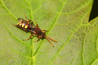 Flavous nomad bee (Nomada flava) resting on Sycamore (Acer pseudoplatanus) leaf. Cornwall, England, UK. May.