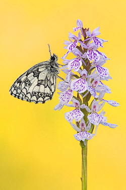 Marbled white butterfly (Melanargia galathea) resting on Common spotted orchid (Dactylorhiza fuchsii), covered in dew. Dunsdon Devon Wildlife Trust Reserve, England, UK. July.