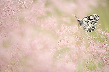 Marbled white butterfly (Melanargia galathea) resting amongst dew covered grasses. Volehouse Moor Devon Wildlife Trust Reserve, England, UK. July.