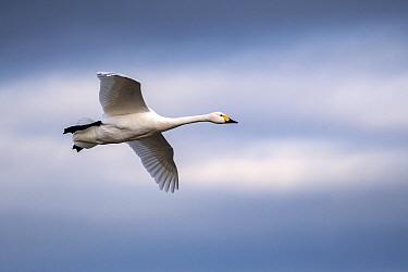 Whooper swan (Cygnus cygnus) in flight. Slimbridge WWT Reserve, Gloucestershire, England, UK. February.