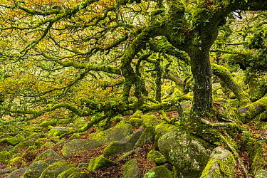 Common oak (Quercus robur), Sessile oak (Quercus petraea) and hybrid oak in ancient woodland, trees and stones covered in moss. Wistman's Wood, Dartmoor National Park, Devon, England, UK. November...