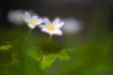Wood anemone (Anemone nemorosa). RHS Rosemoor, Devon, England, UK. April.