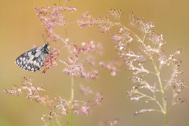 Marbled white butterfly (Melanargia galathea), roosting on dew covered Bent grass (Agrostis sp) at dawn. Devon, England, UK. July.