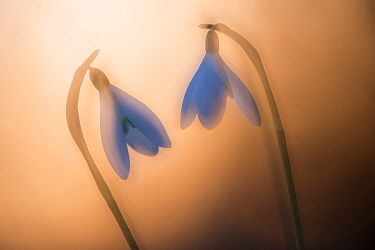 Snowdrop (Galanthus nivalis), two at sunset, double exposure. Cornwall, England, UK. February.