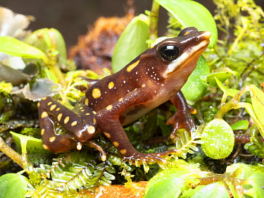 Longnose harlequin frog (Atelopus longirostris), critically endangered species. Was considered extinct but four individuals were rediscovered in 2016. This individual found at same site. Junin, Imbabu...