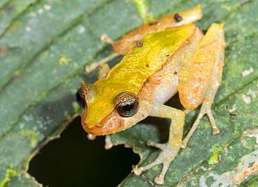Los Cedros rain frog (Pristimantis cedros), described in 2015, recorded only within Los Cedros Biological Reserve, Imbabura Province, Ecuador.