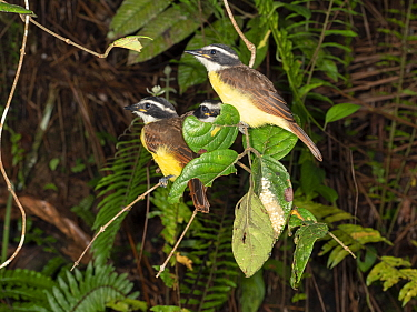 Three Social flycatchers (Myiozetetes similis) perching at the edge of a pond. There is a nest of Warty monkey frog (Phyllomedusa tarsius) in a folded leaf below the birds. Yasuni National Park, Ecuad...