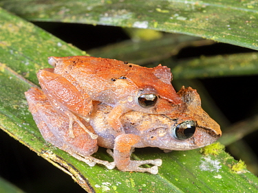 Amplexing pair of Kichwa rain frogs (Pristimantis kichwarum) in the rainforest understory at night, Yasuni National Park, Ecuador.