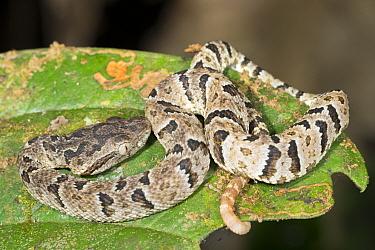 To COMPLETE Osbourne's pitviper (Bothrops osbornei), a juvenile photographed at night in the Los Cedros Biological Reserve, Ecuador, November. Endemic to western Andean slopes of Ecuador. Vulnerab...