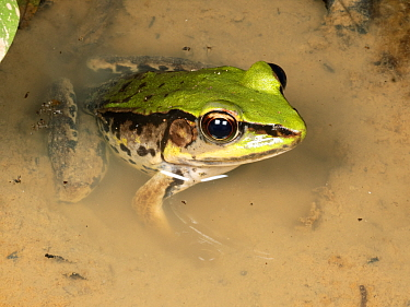 Amazonian green frog (Lithobates palmipes) one of the few true frog species (family Ranidae) in South America. Yasuni National Park, Ecuador.