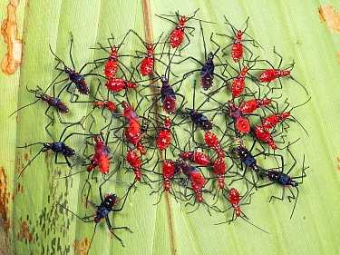 Group of colourful hemipteran bugs on the underside of a leaf in the rainforest, Yasuni National Park, Ecuador.