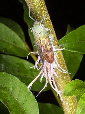 Wax-tailed bug (Pterodictya reticularis) in the rainforest understory, Yasuni National Park, Ecuador, July 2018.