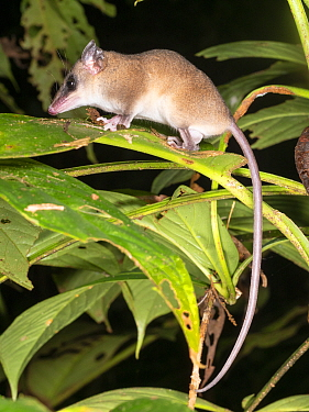 Small mouse opossum (Marmosa sp.) in the rainforest understory at night. Yasuni National Park, Ecuador.
