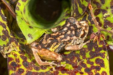 Frog (Pristimantis sp) camouflaged in Bromeliad at night. Alto Paquisha, Cordillera del Condor, Ecuador.