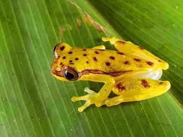 Red-skirted treefrog (Dendropsophus rhodopeplus) on a leaf in the rainforest, Yasuni National Park, Ecuador.