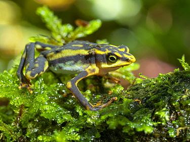 Harlequin frog (Atelopus sp) on moss, an undescribed species (Atelopus aff. longirostris). Near Chinambi, Carchi Province, Ecuador. December.