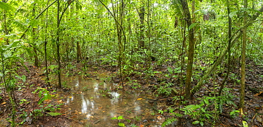 Temporary pool formed after heavy rain in lowland tropical rainforest in Yasuni National Park, Ecuador, July 2018. Stitched panorama.