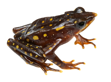 Longnose harlequin frog (Atelopus longirostris), critically endangered species. Was considered extinct but four individuals were rediscovered in 2016. This individual was photographed at same site. Ju...