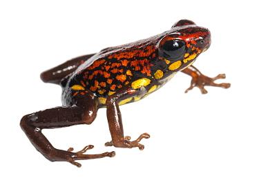 Rio Santiago poison frog (Exidobates captivus) Rio Nangaritza, Ecuador. Occurs only in the western slopes of the Cordillera de Condor in southern Ecuador and northern Peru Vulnerable species.