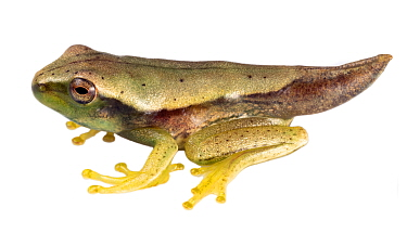 Metamorphosing froglet of the Quacking river frog (Boana lanciformis) still with tail. Yasuni National Park, Ecuador.