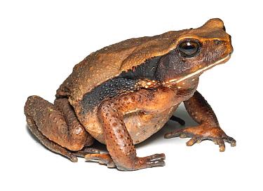 Giant Ecuadorian toad (Rhaebo ecuadorensis). Yasuni National Park, Ecuador.