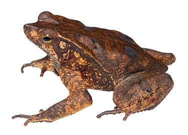 Mouse-eared toad (Rhinella dapsilis) male Yasuni National Park, Ecuador.